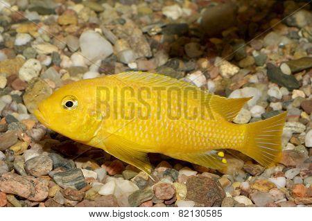 Pseudotropheus Fish