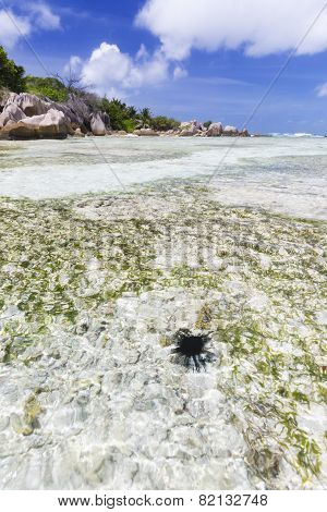 Sea Urchin In Lagoon, La Digue, Seychelles