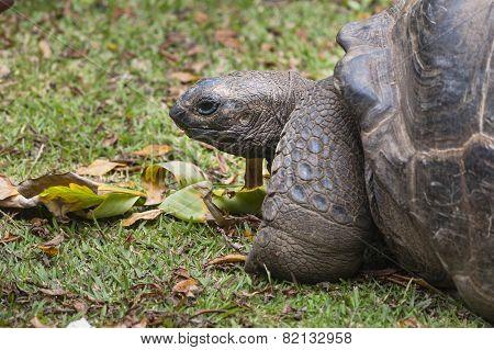 Giant Tortoise, La Digue, Seychelles