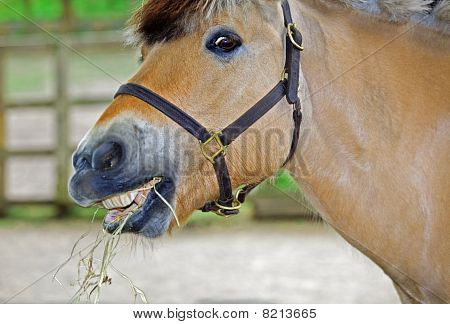 Horse Eating Hay With A Silly Look On His Face