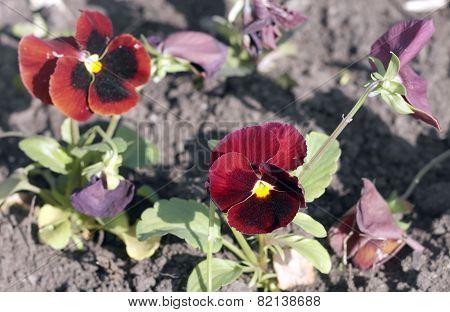 Red Viola At Spring