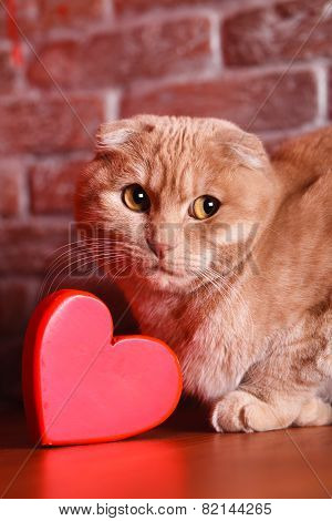 British Cat, portrait cat , Valentine's Day, heart