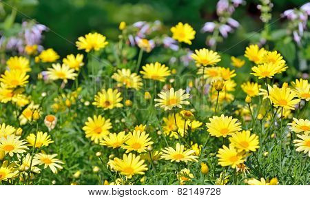 Golden Marguerite, Anthemis Tinctoria