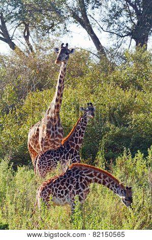 Giraffes In Masai Mara