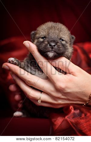 Newborn Shiba-inu Puppy In Human Hands Over Red Background.