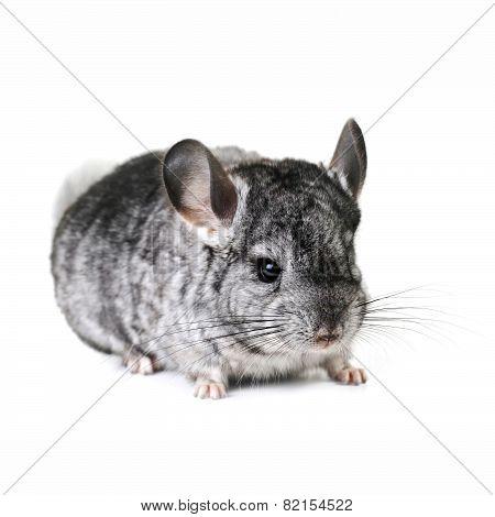 Grey Nice Chinchilla