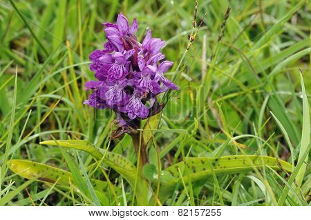 Northern Marsh Orchid 'cambrensis'
