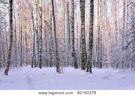 Birch Trees In Winter Park