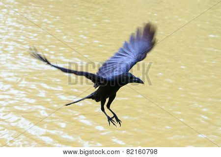 Flying Crow Floating On Air