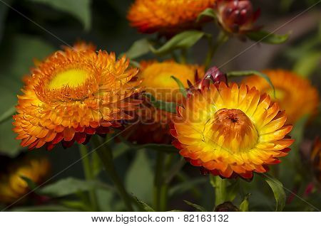 Everlasting or strawflowers