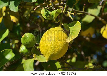 The Ripe Lemon On A Tree Branch