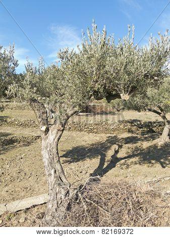 Spanish Olive Trees.
