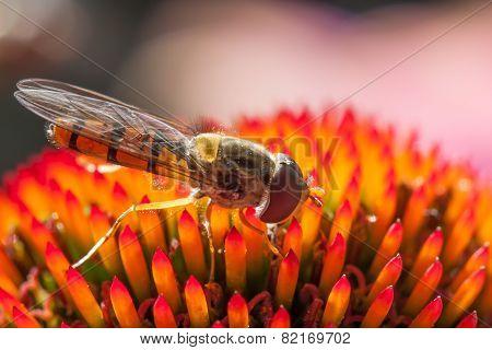 Hoverfly feeding on sunlit coneflower