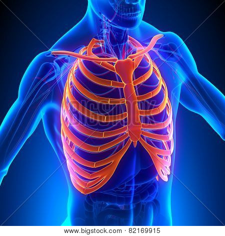 Rib Cage Anatomy Bones With Circulatory System