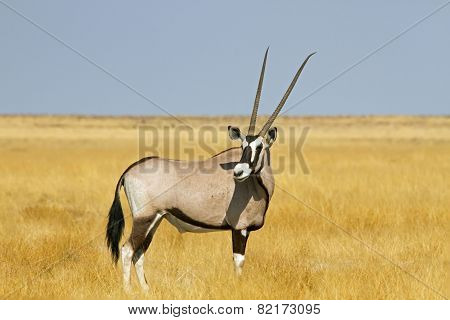 Solitary oryx