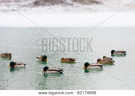 Flock Of Ducks In Water