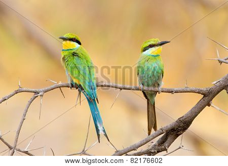 Perched pair of bee eaters