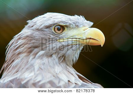 Profile Of White Tailed Eagle
