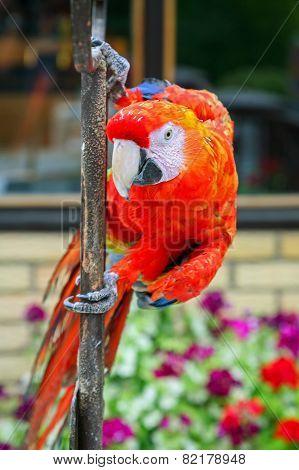 Scarlet Macaw On Iron Bar