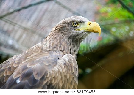 White Tailed Eagle In Zoo