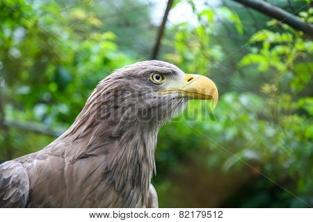 White Tailed Eagle In Captivity