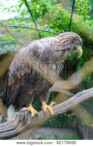 White Tailed Eagle On Branch
