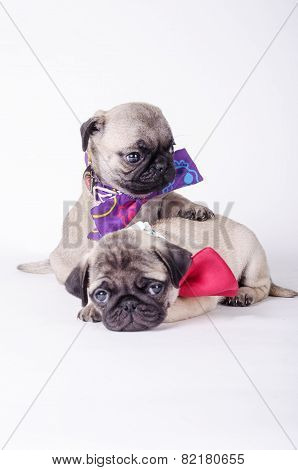 Two fawn pugs in love