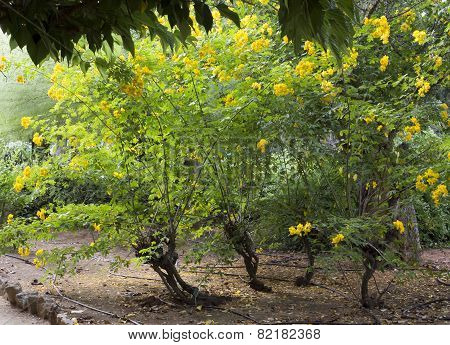 Blooming Cassia Tree