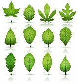 picture of plant species  - Illustration of a set of spring or summer season green leaves from various plants and trees species - JPG