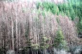 picture of dead plant  - Dead Evergreen Forest due to climat - JPG