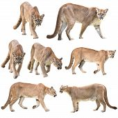 ������, ������: Puma Or Cougar Isolated
