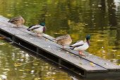 foto of dock a pond  - Four ducks preening its feathers and relaxing on a wooden platform on the pier of the city pond in a park in Riga Latvia