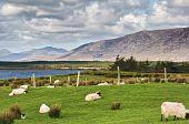 Sheep On A Farm Field In Remote Connemara, West Ireland