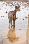 picture of bambi  - Deer walk on water in the zoo - JPG