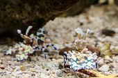 picture of harlequin  - - Harlequin shrimp in an aquarium - - JPG
