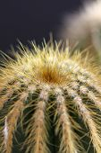 picture of thor  - detail photo of the small cactus with spikes - JPG