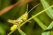 image of hopper  - Green grasshopper sitting on a blade of grass - JPG