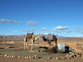 foto of dromedaries  - Dromedaries stop the Atlas Mountains in the background - JPG
