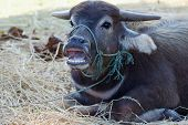 pic of terrestrial animal  - Terrestrial Animal Thailand water buffalo looking at camera close up - JPG