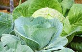 pic of aphid  - Green cabbage and aphid in vegetable garden - JPG