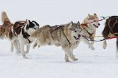 pic of sled  - Group of sled dogs running through lonely winter landscape