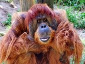 picture of orangutan  - Macro portrait of large thoughtful mail orangutan - JPG