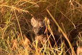 stock photo of hyenas  - Baby spotted hyenas just come out from their hole Masai Mara  - JPG