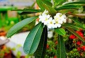 picture of frangipani  - branch of plumeria flower  - JPG
