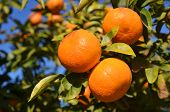 stock photo of clementine-orange  - clementine tree branch with three ripe clementines - JPG