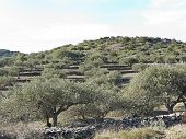 stock photo of olive trees  - Landscape of olive trees in Catalonia - JPG