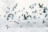 stock photo of shoreline  - A large group of seagulls flying near the snow covered shoreline of river Sava in Zagreb Croatia - JPG
