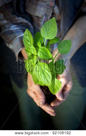 Hands holding fresh baby basil plant ready for planting - home gardening concept