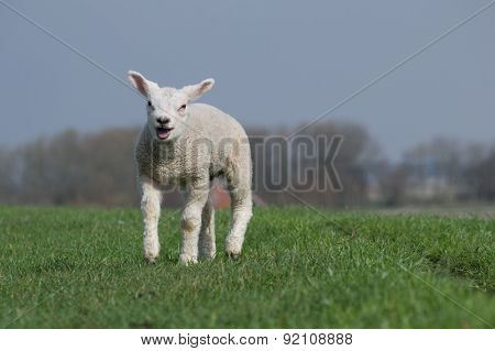 White lamb bleating and running