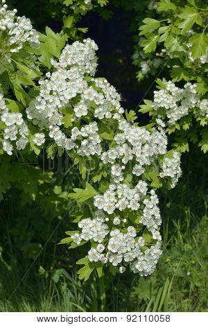 May Or Hawthorn Blossom